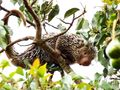 Porcupine in tree.jpg